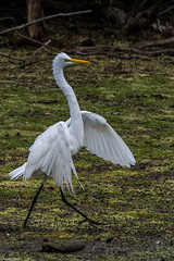 Walk this way (Fred Roe) Tags: nikond7100 nikonafsnikkor200500mm156eed nature naturephotography national wildlife wildlifephotography animals birds birding birdwatching birdwatcher egret greategret ardeaalba colors outside flickr feet peacevalleypark