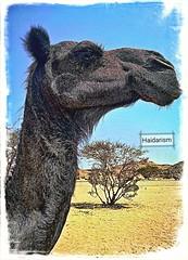 Mr. Sweet Lips (haidarism (Home Sweet Home)) Tags: camel ngc nature animal