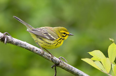 Prairie Warbler.Lake hope Ohio. (mandokid1) Tags: canon 1dx ef600mm11 birds warblers