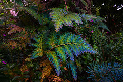 Selaginella siamensis (muscapix) Tags: guyane frenchguyana cacao selaginellasiamensis selaginella peacockfern fougere fern foret forest amazonie flore plante plant sousbois iridescente iridescent rx10iii