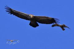 Grifone sardo (Tonpiga) Tags: tonpiga uccelliinlibertà faunaselvatica predatore rapace avvoltoio grifone falcodipalude fotoinnatura