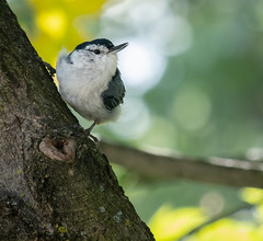 White-breasted Nuthatch (Richard Pilon) Tags: fujifilm fujixt3 fujinon55200mm whitebreastednuthatch bird