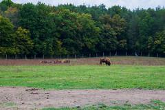 238/365 (misa_metz) Tags: nikon nature naturephotography animal animals photo photography sigma outdoor autumn buffalo lea wood woods forest art colors color