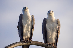Weißbauch-Seeadler (Thomas SAP) Tags: 2019 srilanka vogel weisbauchseeadler