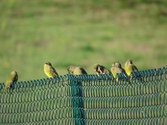 IMG_1364 (jesust793) Tags: pájaros birds naturaleza nature