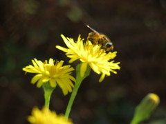 IMG_1308 (jesust793) Tags: abejas bees flores flowers naturaleza nature amarillo yellow