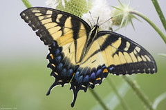 Butterfly 2019-154 (michaelramsdell1967) Tags: butterfly butterflies nature macro animal animals insect insects yellow black green tiger swallowtail beauty beautiful pretty lovely vivid vibrant detail delicate fragile wildlife bug bugs upclose closeup meadow field zen