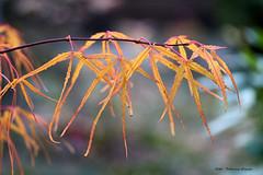 Indian Summer south of Berlin (Patricia Buddelflink) Tags: japanese marple tree garden autumn indian summer nature
