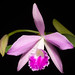 [Brazil] Cattleya × fidelensis 4N (Pabst) Van den Berg, Neodiversity 3: 7 (2008)