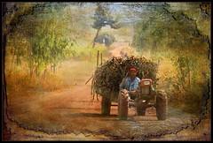 Hauling Sugar Cane (ulli_p) Tags: asia art aworkofart colours canoneos450d flickraward isan light likeapainting ruralthailand road southeastasia sugarcane thailand texture textured texturedphoto