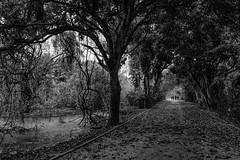 Bosque da Barra - Rio de Janeiro (mariohowat) Tags: bosquedabarra riodejaneiro natureza pb pretoebranco brasil brazil blackandwhite bw monocrome monochrome blancoynegro canonm3