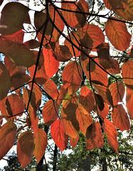 backlit Dogwood leaves (karma (Karen)) Tags: baltimore maryland leaves fallcolors backlight cliche hcs iphone