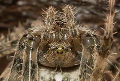Arachtober 12th - Close-up - Upside-down Araneus diadematus (Anne Richardson) Tags: upsidedown closeup macro macrophotography spider arachnid arachtober araneusdiadematus gardenspider gardencross orbweaver