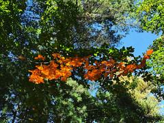 Étonnant duo de couleurs sur un même arbre (Πichael C.) Tags: turckheim randonnée balade hike alsace 67 visite tourisme village