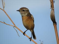 IMG_1558 (jesust793) Tags: pájaros birds naturaleza nature