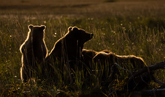 "Standing Tall  3I1359 (Dr DAD (Daniel A D'Auria MD)) Tags: ""brownbears"" ""brownbearcubs"" ""bears"" cubs nature wildlife mammals predators ""livingwithbears"" grizzly grizzlies ""coastalbrownbears"" alaska ""lakeclarknationalpark"" ""danielad'auriamd"" ""drdadbooks"" ""children'swildlifebooksbydanielad'auriamd"" ""july2017"" ""grandtetonnationalpark"" ""gtnp"" ""bearsofwyoming"" ""grizzlybears"" ""september2017"" kenai ""kenaipeninsula"" ""august2018"" ""sheltercreekcamp"" ""silversalmoncreeklodge"" august2019"" ""september2019"""