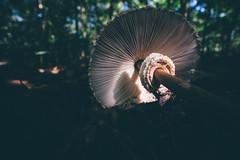 (sfp - sebastian fischer photography) Tags: käfertalerwald mannheim parasol pilz mushroom riesenschirmpilz schirmpilz lamellenpilz wald forest laowa