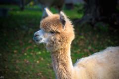 241/365 (misa_metz) Tags: nikon nature naturephotography photo photography colors color animal alpaca outdoor portrait autumn