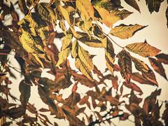 All the leaves are brown (J.C. Moyer) Tags: color colour kleur herfst najaar hiver autumn fall holland thenetherlands volendam edam lumix45150mm lumixgx80 hfs45150 dmcgx80 lumix panasonic rustiek rustic art takken branches blad bladeren leaf leaves