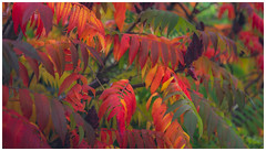 Changing Seasons. (Ian Emerson (Thanks for all the comments and faves) Tags: autumn autumnal bush colourful canon6d 24105 changingcolour seasons