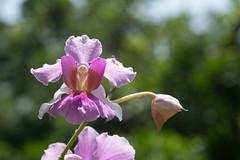 Orchid in garden of Agnes Keith House (Jim Nicholson) Tags: sandakan sabah borneo my malaysia orchid plant nikon d850 nikond850 sigma105mmf28