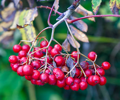 Autumn is here - Rowan berries (sineid2009) Tags: trees autumn berries ireland garden