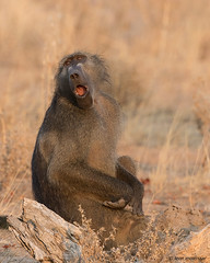 Ooh! (leendert3) Tags: leonmolenaar southafrica krugernationalpark wildlife wilderness wildanimal nature naturereserve naturalhabitat mammals chacmababoon
