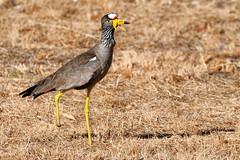 African Wattled Lapwing (johnaalex) Tags: dewildt johannesburg bird nikonafs80400f4556g d850 lapwing
