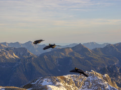 PA120436 (turbok) Tags: rabenvögelcorvidae vögel wildtiere alpendohlepyrrhocoraxgraculus