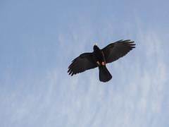 PA120393 (turbok) Tags: rabenvögelcorvidae vögel wildtiere alpendohlepyrrhocoraxgraculus