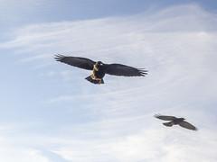PA120380 (turbok) Tags: rabenvögelcorvidae vögel wildtiere alpendohlepyrrhocoraxgraculus