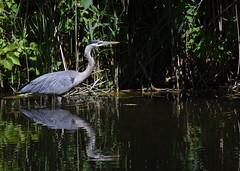 Grand Héron / Great Blue Heron (rcomard3) Tags: oiseau bird grand héron heron great