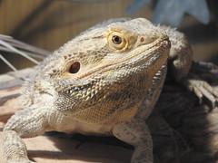 Bearded Dragon (suefoxnature (Suzanne S)) Tags: reptile beardeddragon axevalleywildlifepark axminster devon