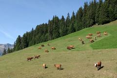 Beaufort : première étape de la fabrication (bernarddelefosse) Tags: beaufort fromage beaufortain savoie alpes rhônealpes france paysage vaches