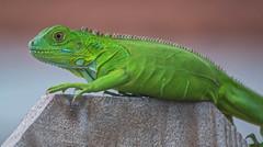 Roaming (ACEZandEIGHTZ) Tags: lizard nature closeup nikond3200 macro scales portrait iguanaiguana green young woodenfence
