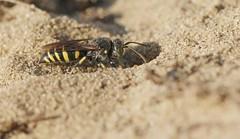 Bembecinus hungaricus f. 6092 (Henrik Gyurkovics) Tags: bembecinushungaricus bembecinus hungaricus crabronidae hymenoptera wasps insects macro bácsborista kelebia hungary