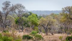 Kruger National Park (James Duckworth) Tags: africa jamesduckworthphotography krugernationalpark southafrica animals fineartphotography giraffe landscape nature safari spring trees wildlife