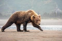 If Looks Could Kill... (DTT67) Tags: coastalbrownbear grizzlybear bear lakeclark alaska 1dxmkii canon mammal animal wildlife