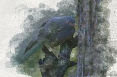 Visitor in the rain (Shankar Studios) Tags: birds nature sparrow srilanka
