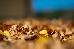 Autumn leaves (Martin Bärtges) Tags: himmel blau blue sky braun brown sonne sonnenschein dach rooftop sunshine sun farbenfroh colorful naturelovers naturephotography naturliebhaber naturfotografie natur nature outside outdoor drausen nikonphotography nikonfotografie d4 nikon pflanzen plants autumncolors autumn herbstfarben herbst fallen blätter laub leaves