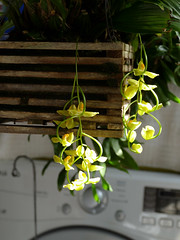 Gongora galeata var. luteola species orchid 10-19* (nolehace) Tags: fall nolehace sanfrancisco fz1000 flower plant bloom gongora galeata var luteola species orchid 1019