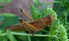 Grasshopper (shelly.morgan50 (mostly off)) Tags: shellymorgan50 panasoniclumixdczs200 nature insect grasshopper textures brown green usa midwest garden closeup details sedum macro bokeh