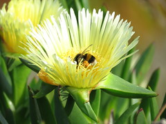 IMG_1546 (jesust793) Tags: abejas bees flores flowers naturaleza nature amarillo yellow