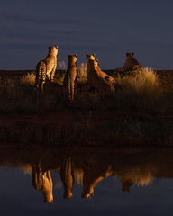 Dinner at the horizon (Marsel van Oosten) Tags: marselvanoosten squiver phototour workshop southafrica wildlife cheetah carnivore predator waterhole reflection twilight bigcat bluehour