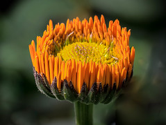 Oranges and lemons!! (Good Nature One) Tags: orangesandlemons flower macro nature bloom orange yellow green