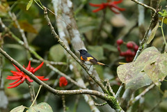 American Redstart --- Setophaga ruticilla (creaturesnapper) Tags: panama birds warblers americanredstart setophagaruticilla