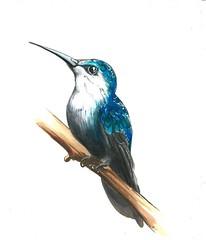 hummingbird (michailovaster) Tags: hummingbird birds bird passaro kolibri markers minuature handdrawing drawing illustration ilustração blue draw колибри маркеры copicmarker copic colorfull постер птицы графика миниатюра рисунок