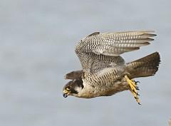 Peregrine SD male launch (Peregrinefalcon68) Tags: peregrine peregrinefalcon falcon birdsorprey birds southwales raptors canon300f28l lseries canon1dmkii