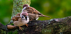 Tree Sparrows (Timo Airaksinen) Tags: sony sonyrx10 nature naturephotos naturephotography naturalphoto wildlife wildlifephotography finland suomi airakti timoairaksinen bird birds birdphotography birdphotos