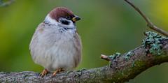 Tree Sparrow (Timo Airaksinen) Tags: sony sonyrx10 nature naturephotos naturephotography naturalphoto wildlife wildlifephotography finland suomi airakti timoairaksinen bird birds birdphotography birdphotos